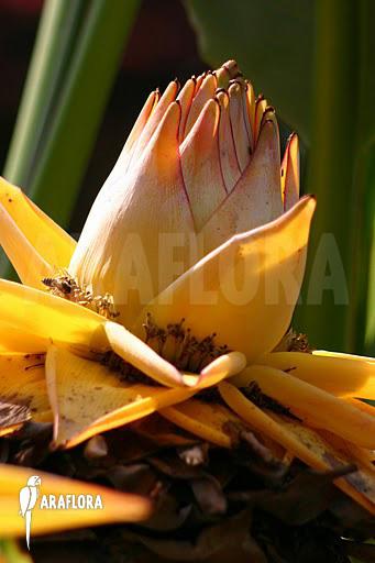 araflora exotic flora more golden lotus banana. Black Bedroom Furniture Sets. Home Design Ideas