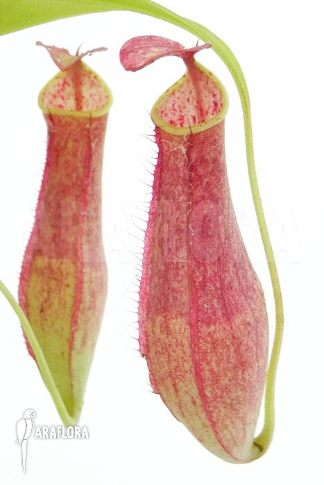 Araflora, exotic flora & more - Tropical pitcher plant \'Nepenthes ...