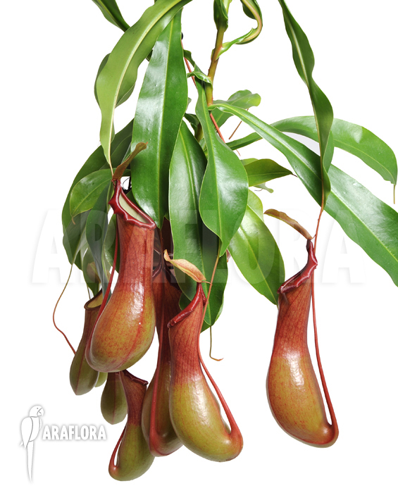 Nepenthes Pitcher Plant Care