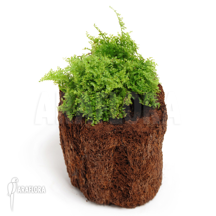 Araflora exotic flora more boston fern 39 nephrolepis - Nephrolepis exaltata ...
