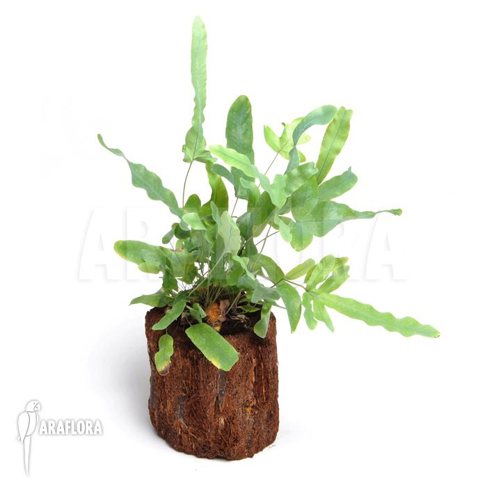 araflora exotic flora more blue star fern 39 phlebodium aureum mandaianum 39. Black Bedroom Furniture Sets. Home Design Ideas