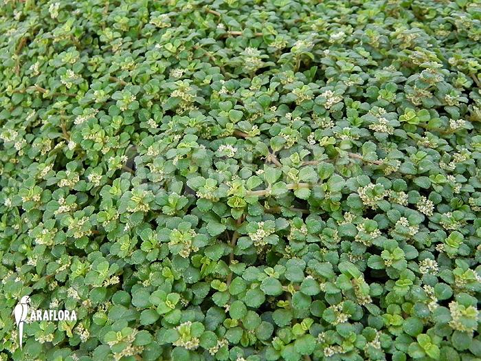 Araflora Exotic Flora Amp More Pilea Depressa