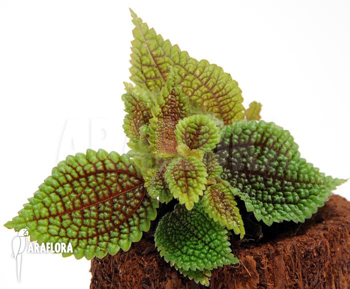 Araflora Exotic Flora Amp More Pilea Involucrata