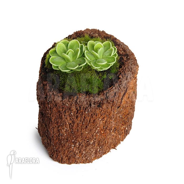 Carnivorous plants butterwort