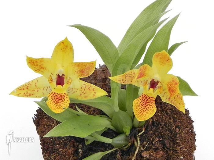 Araflora Exotic Flora Amp More Orchid Promenaea X
