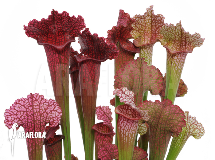 Araflora, exotic flora & more - Trumpet pitcherplant