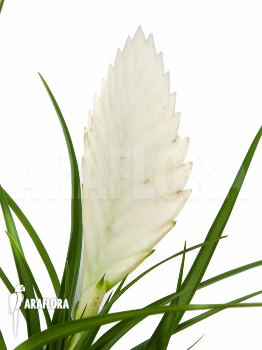 Tillandsia Cyanea Linden Ex K Koch: Araflora, Exotic Flora & More