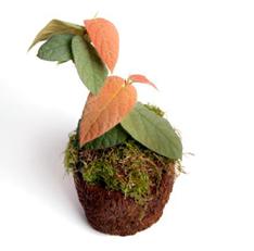 Araflora terrarium plant